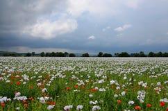 Fält för opiumvallmo Arkivbilder