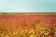 Fält för röd växt av släktet Trifolium mot blå himmel Arkivfoton