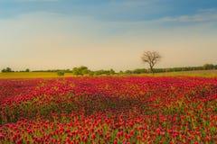Fält för röd växt av släktet Trifolium mot blå himmel Arkivbild