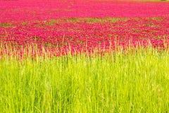 Fält för röd växt av släktet Trifolium mot blå himmel royaltyfria foton