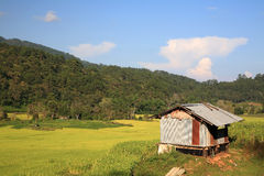 Fält för rice för Zinchus nära terrasserat Royaltyfri Foto