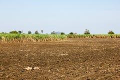 Fält för sockerrotting Arkivfoton