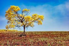 Fält för sockerrotting med det isolerade trädet gul Ipe - den Handroanthus albusen - med molnig blå himmel arkivfoton