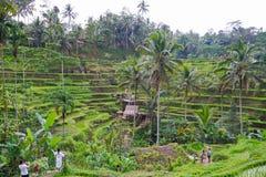 Fält för Tegallalang risterrass - Ubud - Bali - Indonesien arkivbild
