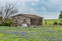 Fält för Texas bluebonnet och gammal ladugård i Ennis royaltyfri foto