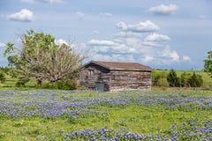 Fält för Texas bluebonnet och gammal ladugård i Ennis arkivbild