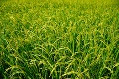 Fält för växande ris och för grönt gräs Arkivbild