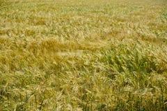 Fält för vetefält av korn Royaltyfria Bilder