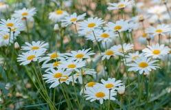 Fält för vit tusensköna i trädgård Royaltyfri Bild