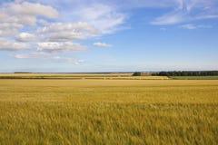 Fält för Yorkshire woldskorn Royaltyfria Foton