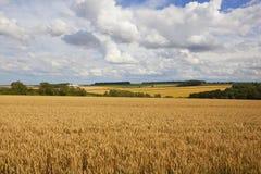 Fält för Yorkshire woldsvete Arkivfoto