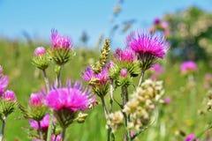 Fält fyllda tistelblommor, ljusa rosa färger royaltyfria bilder