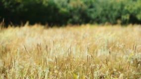 Fält gräset vinkar på vind stock video