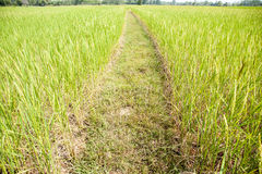 Fält i Thailand. Arkivfoton