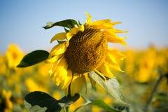 fält l solrosor Arkivbild