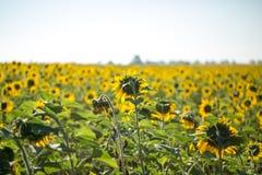 fält l solrosor Fotografering för Bildbyråer
