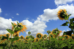 fält l solrosor Arkivfoto