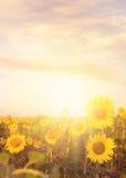 fält l solrosor Royaltyfri Fotografi