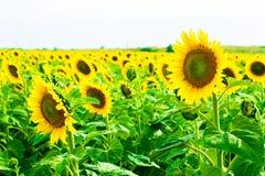 fält l solrosor Royaltyfri Foto