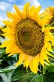 fält l solrosor Royaltyfri Bild