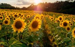 fält l solrosor Solrosblommor Landskap från en solroslantgård Ett fält av solrosor som är höga i berget Jordbruksprodukterenvi royaltyfri fotografi