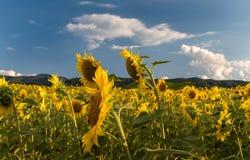 fält l solrosor Solrosblommor royaltyfri bild