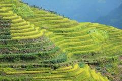 fält longshen rice arkivbilder