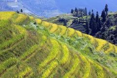 fält longshen rice royaltyfri bild