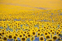 Fält med överflöd av att blomstra solrosor Arkivfoto