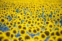 Fält med överflöd av att blomstra solrosor Arkivbild