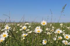 Fält med att blomma tusenskönor royaltyfri fotografi