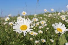 Fält med att blomma tusenskönor royaltyfria foton