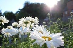 Fält med att blomma tusenskönor arkivfoton