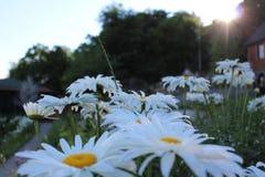 Fält med att blomma tusenskönor arkivbilder