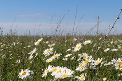 Fält med att blomma tusenskönor arkivbild