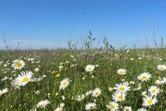 Fält med att blomma tusenskönor royaltyfri foto