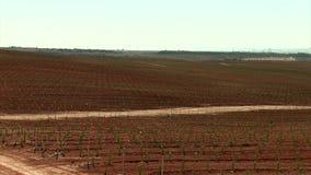 Fält med begynnande olivträd och havbakgrund i Murcia stock video