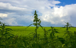 Fält med cannabis marijuanabuske Arkivbilder