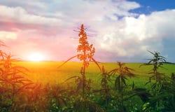 Fält med cannabis marijuanabuske på solnedgången Royaltyfria Bilder