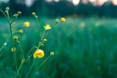 Fält med closeupen på den gula blomman, solnedgång Arkivbilder