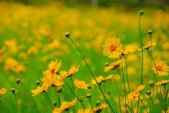 Fält med den gula blomman royaltyfria bilder