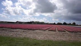 Fält med färgglade tulpan arkivfilmer