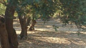 Fält med gamla olivträd stock video