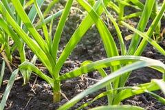 Fält med grön vitlök, ung vitlök, groddar av vitlök på mörk jord, jordbruk arkivfoton