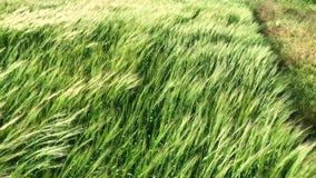 Fält med gröna öron av vete som svänger i vinden arkivfilmer