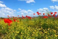 Fält med grönt gräs, gulingblommor och röda vallmo Arkivfoton