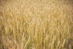 Fält med groddar av mogen gul råg Arkivbilder