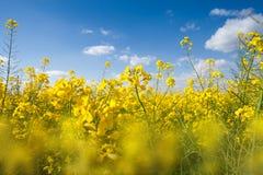 Fält med gul canola Fotografering för Bildbyråer