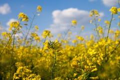 Fält med gul canola Royaltyfri Fotografi