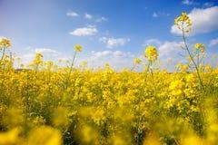 Fält med gul canola Royaltyfria Foton